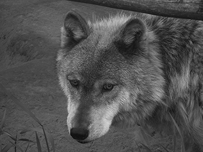 Wolf Check This Out Once In A Lifetime Wildlife Popular Photos Wildlife Photography Wildlife Refuge Nature Alaska Traveling