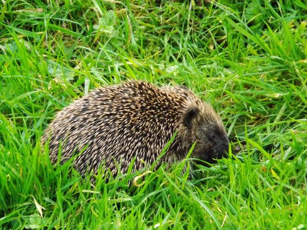 Maximum Closeness Close Up 5 Fresh On Eyeem  Grass Field One Animal Hedgehog Green Color Animals In The Wild Nature Growth Animal Themes Animal Wildlife Mammal Outdoors No People Day Hedgehog Little Mammals Discovery