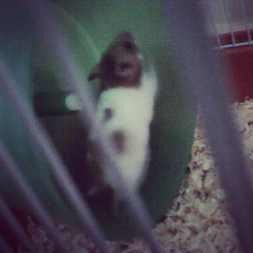 Meet the new member of the family. Martini :') Hamster Newpet Ourpet Memberofthefamily martini socute inlove adorable ourhamster