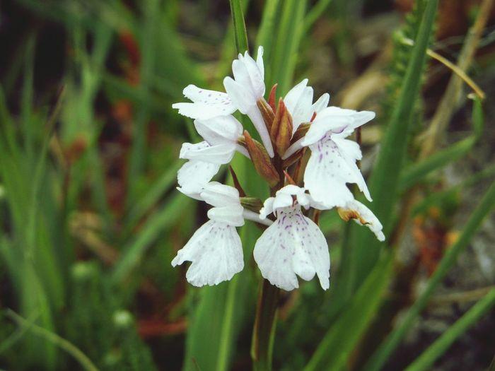 Wild orchid Wildorchid Wildflower Native Plant Conservation Protected Plant Nature's Diversities Sheep's Head Way West Cork Wildatlanticway Ireland