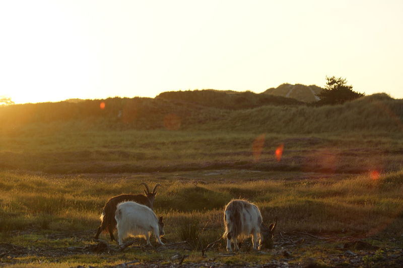 dutch landgoats at sunset in dunes Dunes Dutch Landscapes Goat Animal Themes Animals In The Wild Clear Sky Day Domestic Animals Dune Dutch Land Goat Dutch Landscape Field Flare Goat Life Goats Life Grass Landscape Mammal Nature No People Pets Sky Sunlight Sunset Three Animals