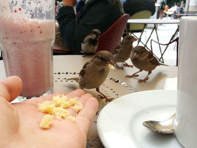 Adapted To The City Human Hand Outdoors Food Day Human Body Part Little Birds Little Birds On A Table Outdoor Scene People Cake Part Of A Cup Cafe Outside Strawberry Milkshake Feed  Feeding Birds Humans And Animals Lemon Bread Street Cafe Adapted To The City Berlin City Life Berlin Curious Trustful Birds Sparrows
