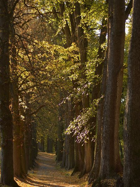 forest path in the autumn alley of trees Tree Plant Forest Tranquility Tree Trunk Land Beauty In Nature The Way Forward Tranquil Scene Autumn WoodLand Sunlight Day Footpath Outdoors Treelined Change Trail Autumn colors Alley Tree Alley Evening Evening Light Sunset
