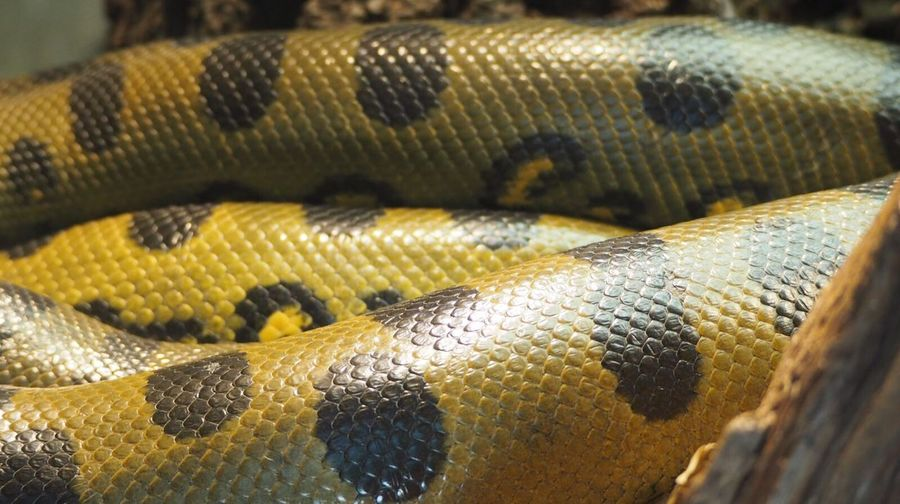 Close-up of boa constrictor
