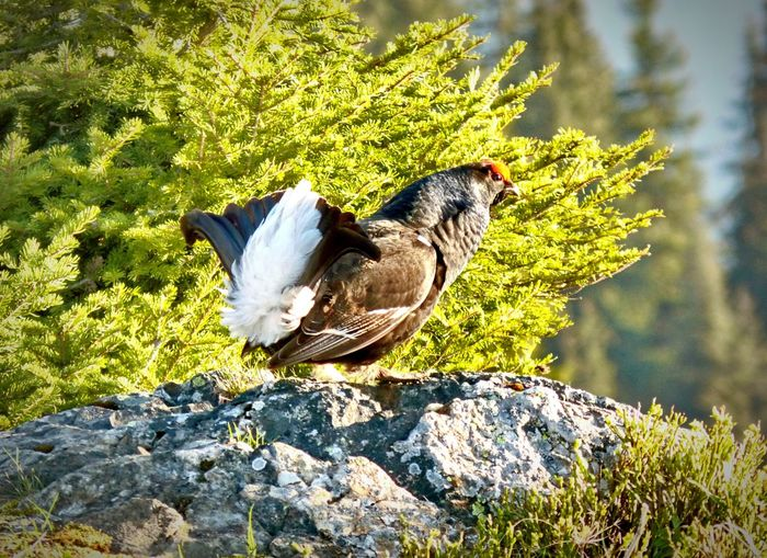 Animal Themes One Animal Animals In The Wild Bird Sunlight No People Nature Growth Day Outdoors Tree Close-up Beauty In Nature Perching Grouse Black Grouse Wildlife & Nature Stone Springtime Nature EyeEm Nature Lover EyeEm Gallery EyeEm Best Shots - Nature EyeEm Best Shots Beauty In Nature