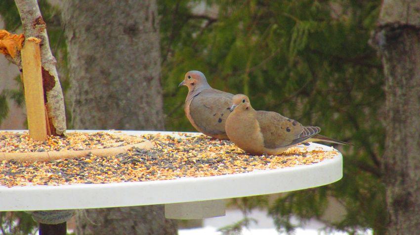 EyeEm Selects Animal Themes Animal Vertebrate Animal Wildlife Animals In The Wild Bird Outdoors Mourning Dove Nature Dove - Bird Day