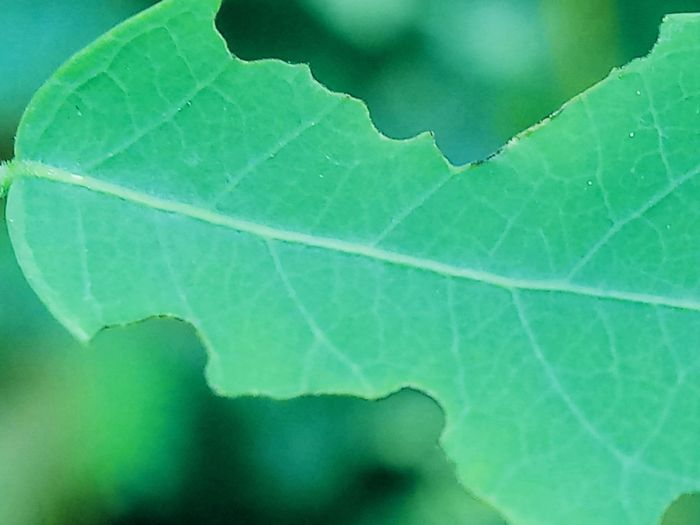 Backgrounds Beauty In Nature Close-up Day Focus On Foreground Fragility Green Color Leaf Leaf Vein Natural Pattern Nature Outdoors Selective Focus Shapes And Forms