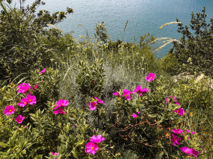 Wild Flowers Slope Highgate High Angle View Lake Side Beauty In Nature Flower Flowering Plant No People Pink Color Freshness Nature Water Day Tranquility Land Outdoors Lake Plant