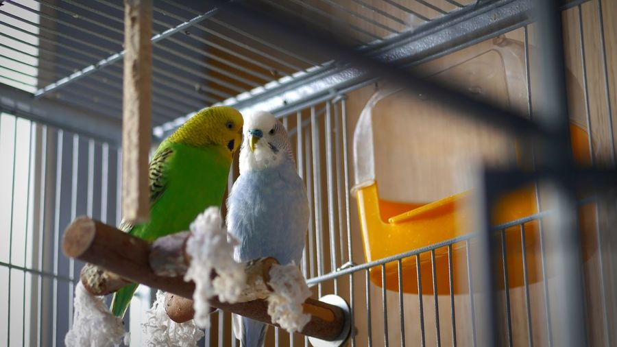 Budgies Blue Green Animal Themes Bird Cage Indoors  No People Branch Nature Close-up Birdcage Sunshine Lovers Parrot Budgerigar Animals In Captivity One Animal Perching Parakeet Animal Wildlife Animals In The Wild Tree Day