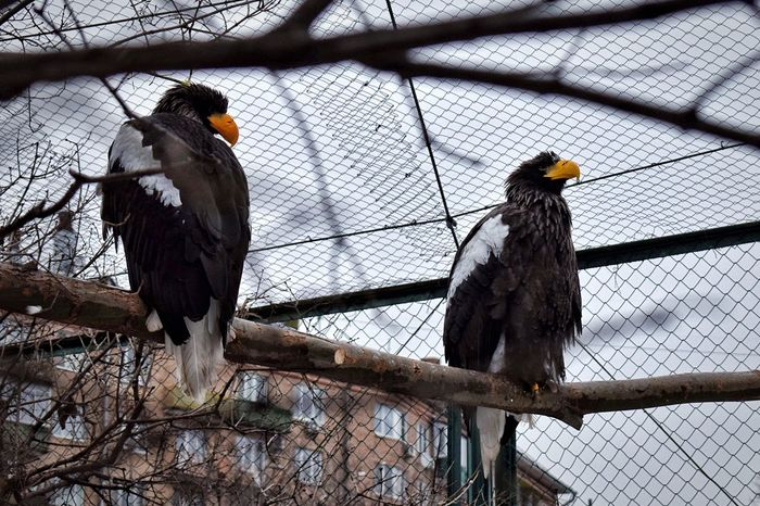 Birds Bird Animal Themes Perching Animal Wildlife Animals In Captivity Branch Animals In The Wild No People Tree Day Outdoors Nature Birds Bird Photography Birds_collection Bird Of Prey Birds🐦⛅ Paint The Town Yellow