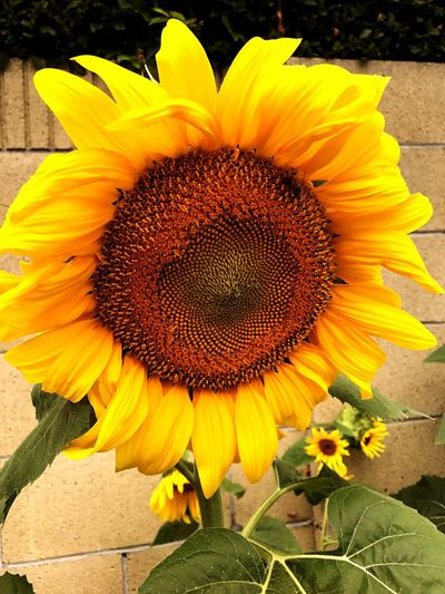 Maximum Closeness Flower Nature Sunflower Summer Beautiful Sunflower Gorgeous Blooming First Eyeem Photo