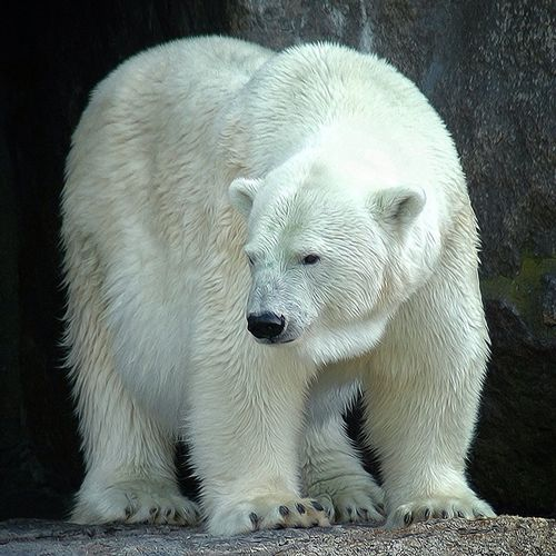 Animals Polar Bear Animales Beautiful Animals
