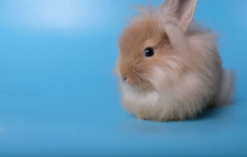 Close-up of a rabbit over blue background