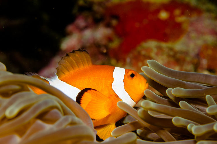 another little Nemo Diving Philippines Travel Animal Themes Animal Wildlife Animals In The Wild Beauty In Nature Close-up Clown Fish Coral Day Divingphotography Fish Nature No People One Animal Sea Sea Anemone Sea Life UnderSea Underwater Underwater Photography Underwaterworld Water