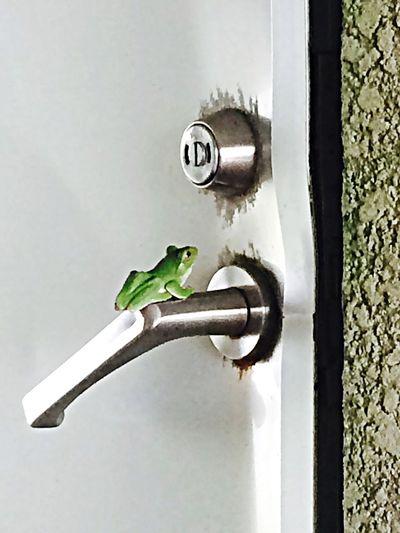 Frog Japan
