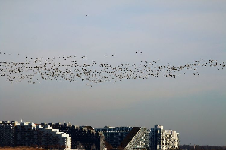 Giant flock of geese circling over oerestad in copenhagen.