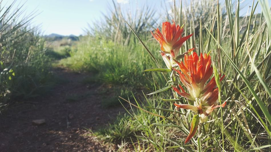Nature Growth Grass Flower Plant Outdoors Day Field Beauty In Nature Green Color Wildflower No People Uncultivated Tranquility Red Sky Close-up Freshness Fragility Indian Paintbrush Greettheoutdoors TheGreatOutdoors The Great Outdoors - 2017 EyeEm Awards Colorado Colorado Photography