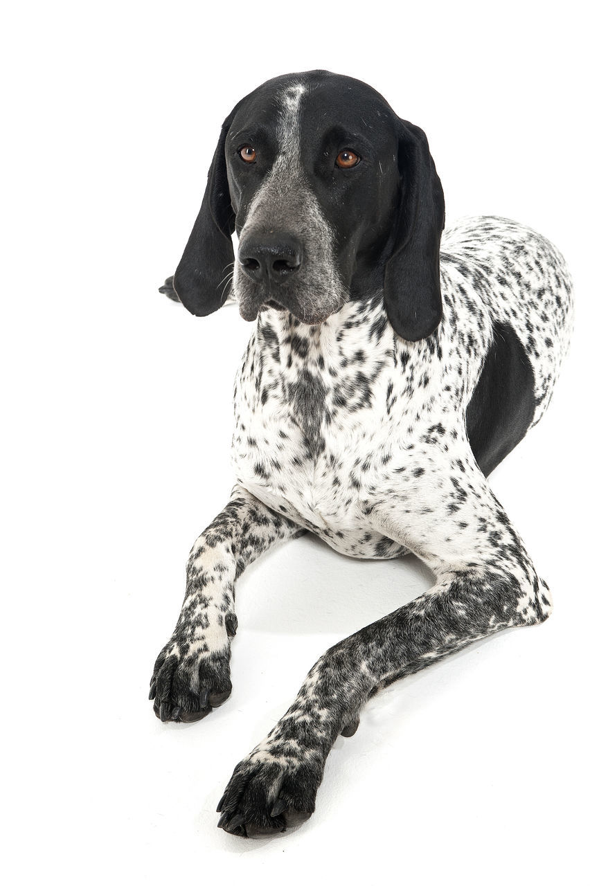 one animal, animal themes, animal, mammal, pets, domestic animals, canine, dog, domestic, white background, vertebrate, studio shot, indoors, looking, no people, cut out, looking away, spotted, sitting, dalmatian dog, animal head
