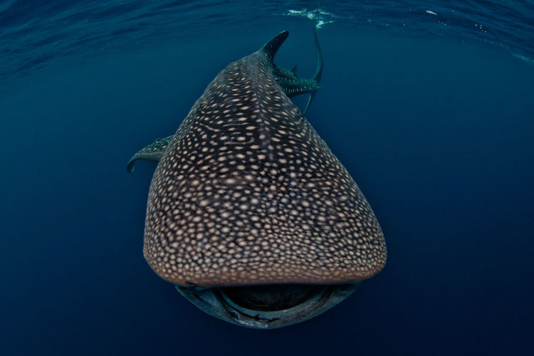 Whale shark swimming in sea