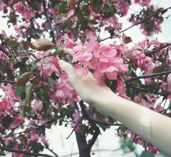 Flower Branch Beauty In Nature Tree Fragility Pink Color Hand Human Body Part Human Hand