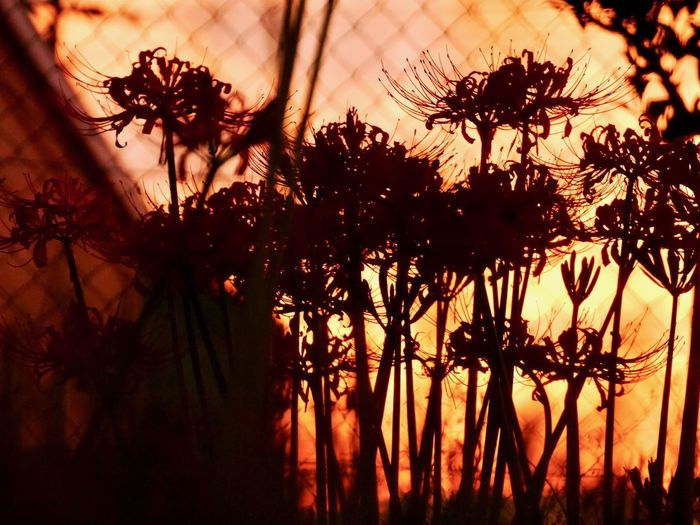 Lovely sunset Silhouette Clusteramaryllis Redspiderlily EyeEm Best Shots EyeEmNewHere Japanese Garden Bokeh Photography Beauty In Nature Nature Photography Plant Nature No People Scenics - Nature Tranquil Scene