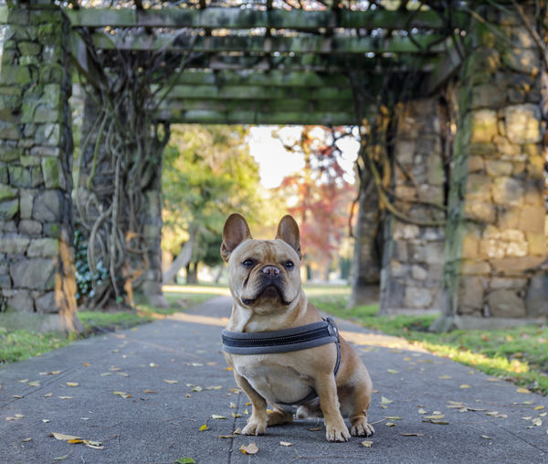 Young French Bulldog sitting in front of stone gateways. Mountain View Cemetery, Oakland, California, USA. Mammal Domestic Dog Animal Themes Canine Pets Domestic Animals One Animal Animal Vertebrate Day Focus On Foreground French Bulldog No People Plant Front View Nature Small Outdoors Frenchie Young Animal Puppy Gateway Stone Sitting