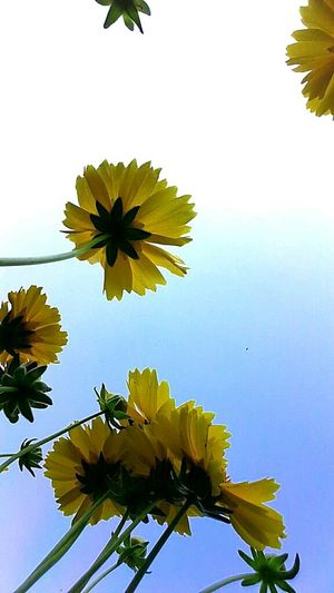 Flower Freshness Fragility Petal Growth Beauty In Nature Flower Head Plant Leaf Yellow Low Angle View Nature Blossom Clear Sky In Bloom Botany Springtime Sky Bloom Blue