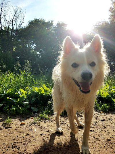 Dog Pets One Animal Domestic Animals Animal Day Sunlight Animal Themes Outdoors Mammal Standing Shadow Grass Sky Portrait No People Nature Tree Summertime Dogs Of EyeEm Dogoftheday Doglover American Eskimo Nature Freshness
