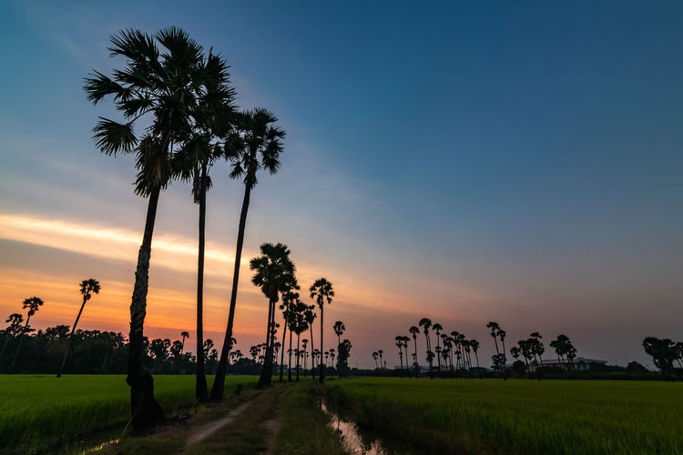 Sunset at Dong Tan, Pathum Thani Plant Sky Palm Tree Sunset Tree Beauty In Nature Scenics - Nature Tropical Climate Land Field Growth Nature Tranquil Scene Tranquility Landscape Direction The Way Forward Coconut Palm Tree Grass Orange Color Outdoors Tropical Tree