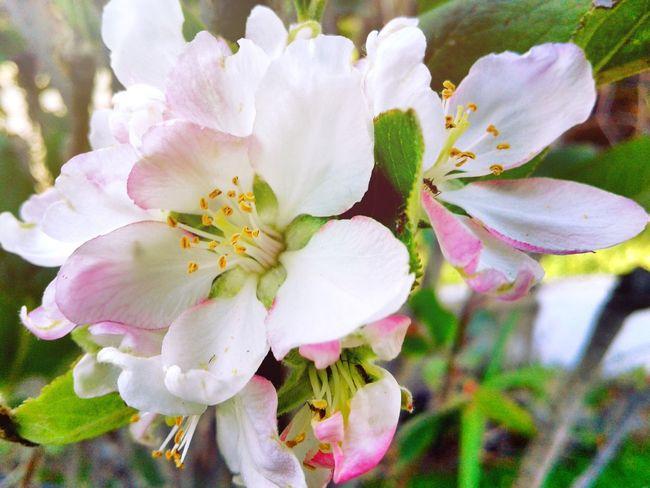 Manzana Flower Petal Beauty In Nature Apple - Fruit Apple Flowers Flowers, Nature And Beauty Nature Photography Macro Photography Macro_flower