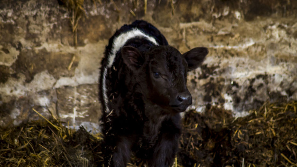 Animal Themes Calf Close-up Cow Cows Day Domestic Animals Mammal Nature New Born Animal No People One Animal Outdoors