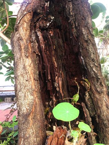 Corteza Plant Growth Tree Nature Day Tree Trunk Trunk No People Leaf Outdoors Green Color Textured  Close-up