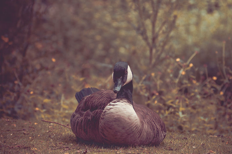 Close-up of canada goose on field