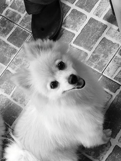 Can't funish him for breaking my slipper. She is just sooo cute. Pomeranianteacup Adorabledog Sofie❤ B/W Photography Pet Love