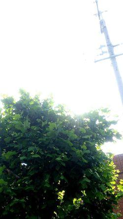楓の街路樹🌿 EyeEm Nature Lover Naturelovers Green Leaves Lovehappa Roadside Tree Streetphotography 葉っぱの1枚1枚が大きくて落葉すると幹線が大変な事になるため、夏が終わる頃には丸刈りにされてしまう運命。