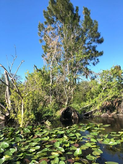 Everglades - Florida #travel #globetrotter #swamp Growth Tree Beauty In Nature Day Blue Water Clear Sky Tranquil Scene