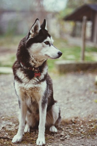 Pets Dog German Shepherd