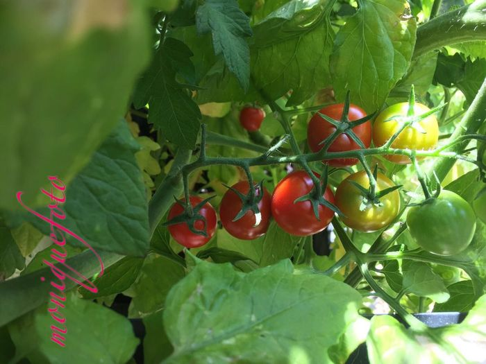 bald ist Erntezeit in meinem Garten. 💕💗 Monique52 Garten Pflanze Natur Tomaten Lecker Genießen Garten Tomatenpflanze