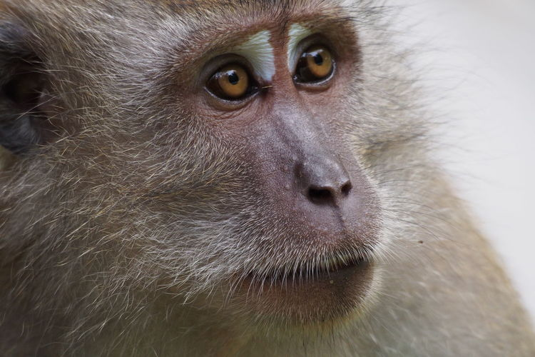 Long Tailed Macaque (macaca fascicularis) Animal Themes Animals In The Wild Close-up Shot Crab-eating Macaque Day Long-Tailed Macaque Macaca Fascicularis Mammal Monkey Nature Outdoors Primate Primate In Singapore Primate In Singapore, Primates