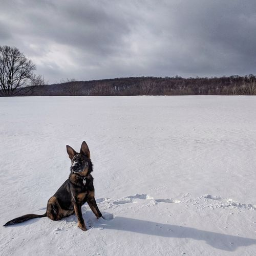 in a land of constant snow My Pet Puppy Sable Snow Dog Fresh Tracks Dog Pets Animal Snow Domestic Animals Cold Temperature German Shepherd One Animal Outdoors Landscape No People Winter Animal Themes