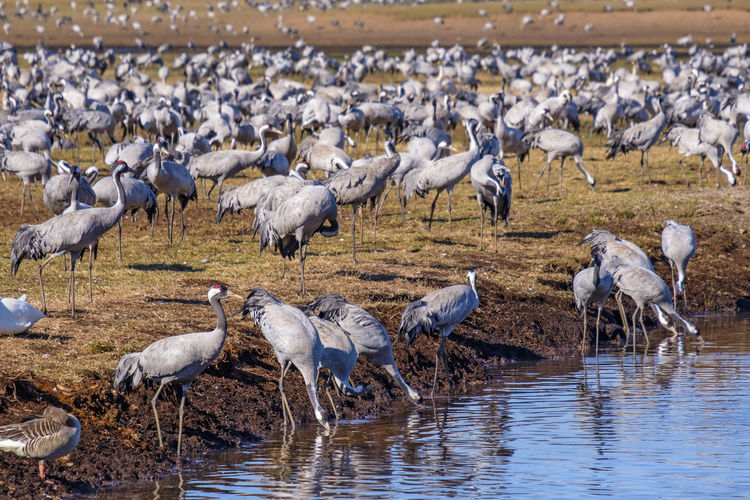 Cranes drinking water in spring