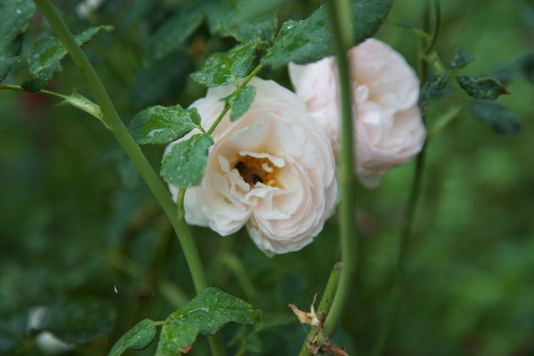 Close-Up Of Bee Pollinating On Rose