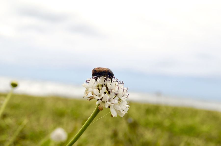 Bug on a flower at the beach Beetle Insect Nature Beautiful Beetle Transkei