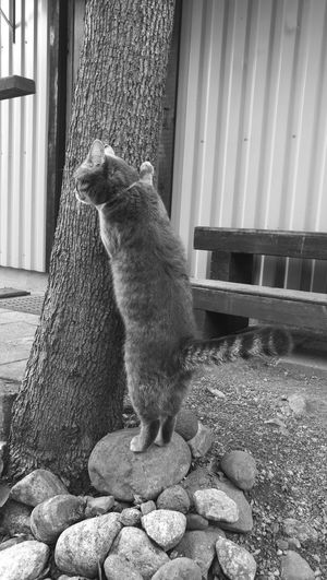 Cat had a scratching moment interrupted by something more interesting. First Eyeem Photo Cats Black And White
