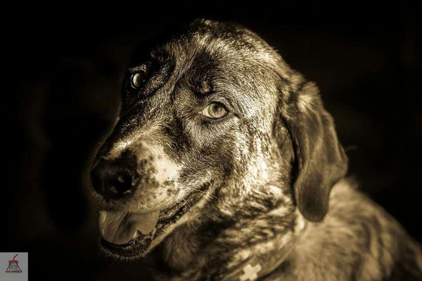 Rafeiro Do Alentejo Canon5dmarkiii Canon 70-200 F2.8 L IS-II Lowkey  Portrait Dog