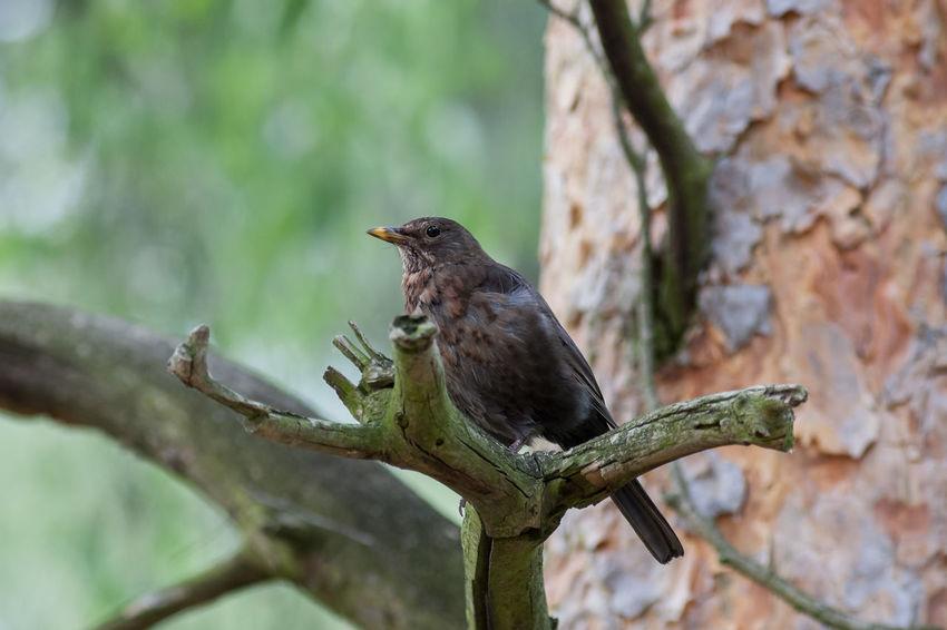 Amsel Animal Animals In The Wild Bird Nature Singing Bird Singvogel Turdus Merula Vogel Wildlife