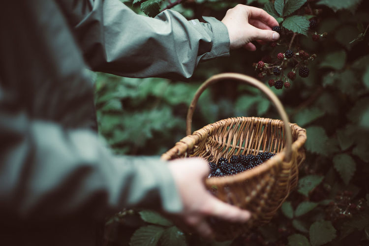 Midsection Of Man Collecting Blackberries In Basket