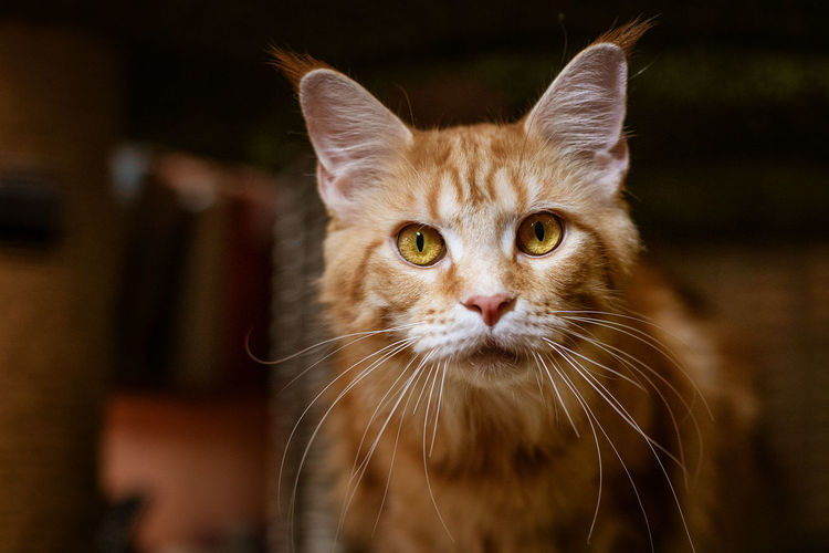 Portrait of a cute cat of the maine coone breed