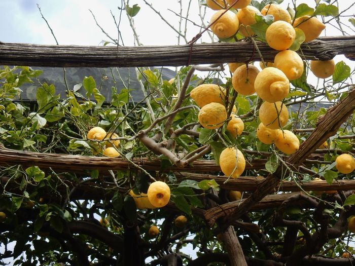 Amalfi Coast Ripe Outdoors Green Color Plant Part Agriculture Leaf Branch Low Angle View Close-up Beauty In Nature Day Nature Wellbeing No People Freshness Tree Growth Food And Drink Food Plant Healthy Eating Fruit Path Of Lemons