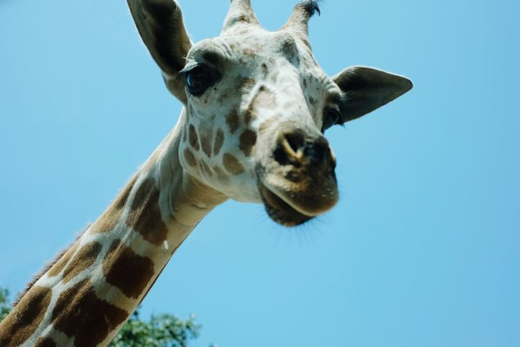 Low angle view of giraffe against clear blue sky
